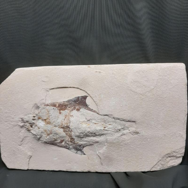 FOSSILE COCCODUS DA PULIRE    Mercatino dell'Usato Roma porta maggiore 2